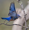 Male western blue bird