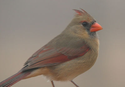 "Taken with my Bigma Lens. ""Female Cardinal"" Not very sharp cause I was shooting through a Window and it was foggy. I'll get one better later Gator. Hahaha!"