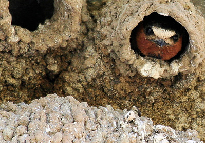 Cliff Swallow peeking out