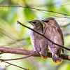 Fledgling Waxwings, #4