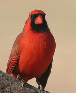 Taken with my Bigma Lens. How's this for a closeup on a Male Cardinal.