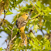 Female Baltimore Oriole Perching