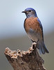Female western blue bird