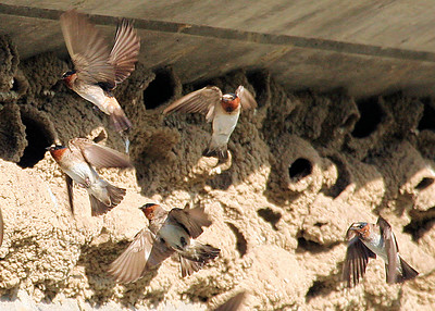 Cliff Swallow Pandemonium