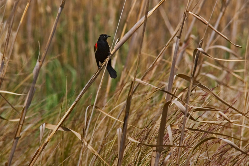 Red Winged Blackbird<br /> at Home in the Wetlands<br /> of South Carolina