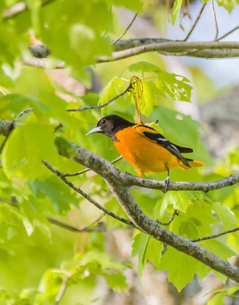 Baltimore Oriole at Spicket River Sanctuary