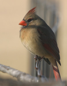 Taken with my Bigma Lens. Female Cardinal. Ain't she cute? Haha!