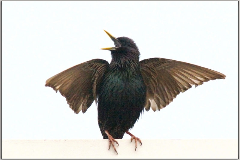 "Dancing Bird Of Firestone (?)<br /> or ""I Dreamed Of A Hawk, Today""!, and this is what I got.......a Starling."
