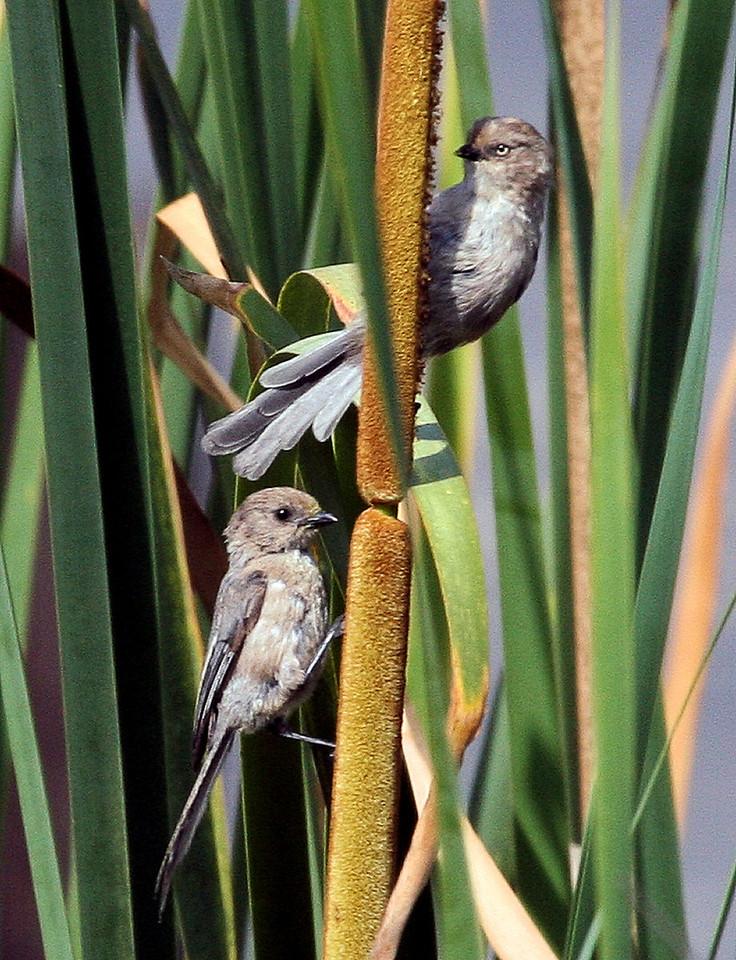 Male and Female Bushtits