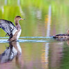 Juvenile Hooded Mergansers Enjoying an August Swim