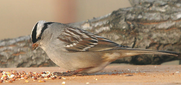 "Taken with my Bigma Lens. ""White Crowned Sparrow"""