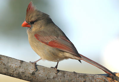 "Taken with my Bigma Lens. ""Female Cardinal"""