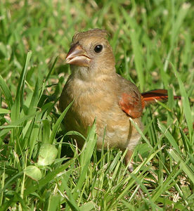 Taken with my Bigma Lens. Young Cardinal. Ain't it cute? Chirp! Chirp!