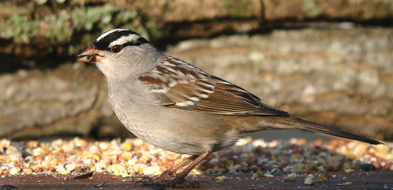 """Taken with my Bigma Lens """"White Crowned Sparrow"""""""
