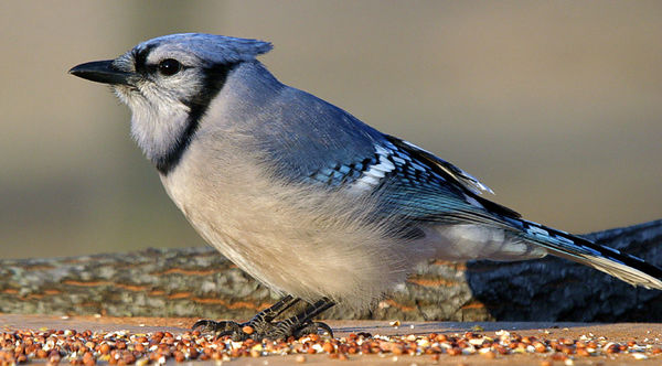 "Taken with my Bigma Lens. ""Bluejay"""