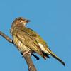 Australasian Figbird male (Juvenile)
