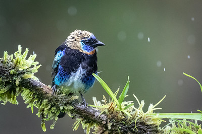 Very wet Golden-Hooded Tanager