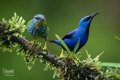Shining honeycreepers, pair
