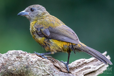 Passerini's tanager, female, in the rain