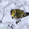 A male <b>Siskin</b> (<i>Carduelus spinus</i>) feeding on alder tree cones. Grönsiskehona i al.