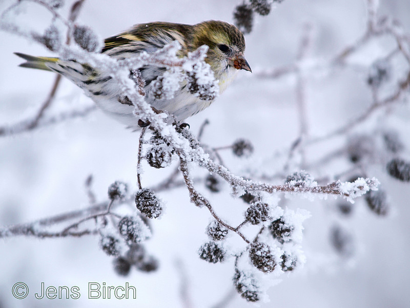 A female <b>Siskin</b> (<i>Carduelus spinus</i>) feeding on alder tree cones. Grönsiskehona i al.