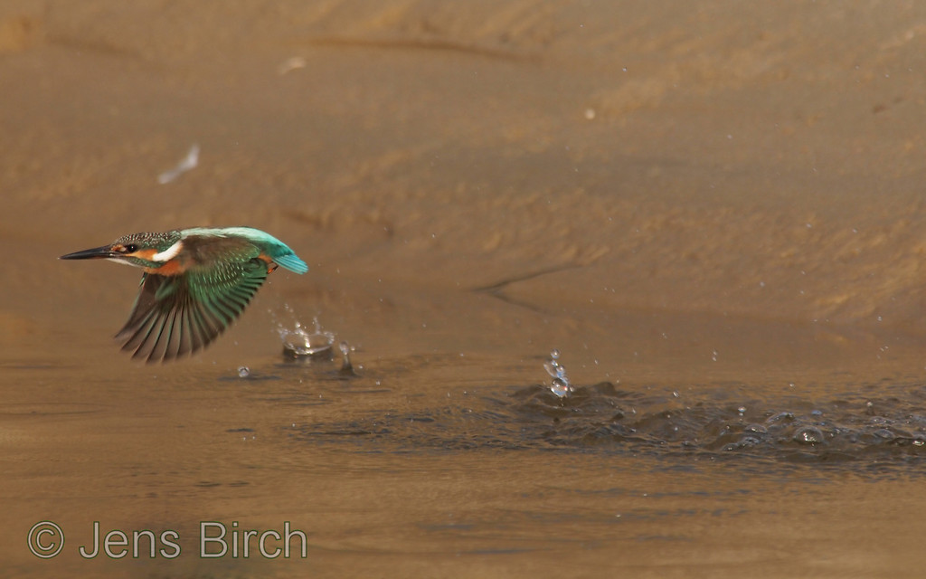 Kingfisher (<i>Alcedo atthis</i>) (Kungsfiskare) taking off after a failed fishing attempt in Hadzhiyska River ( at Sunny Beach), Bulgaria 2011.