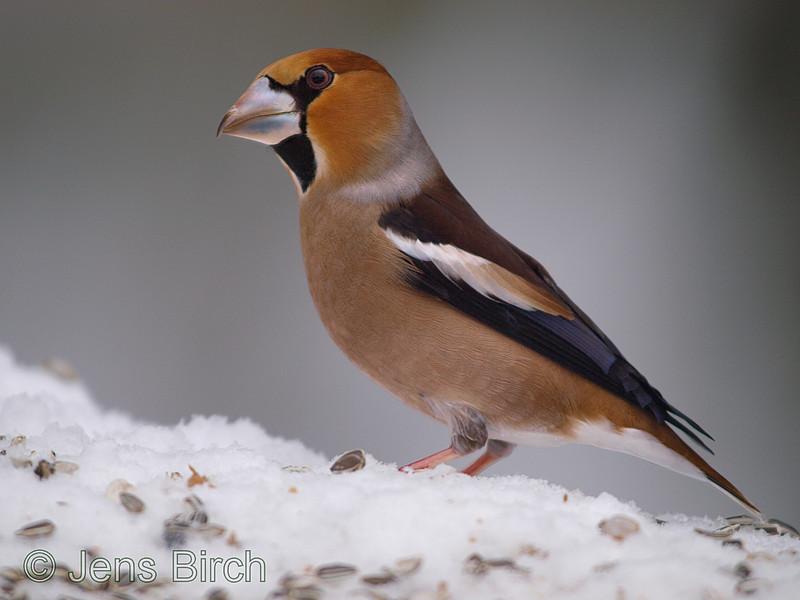 A <b>hawfinch</b> (<i>Coccothraustes coccothraustes</i>) in my garden. En stenknäck vid fågelbordet i trädgården.