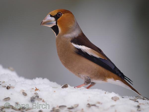 European small birds