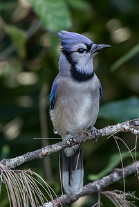 Blue jay, back yard