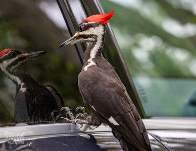 Mirror, mirror, who's the fairest woodpecker of all!!!