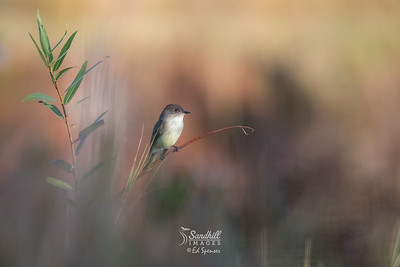 Eastern phoebe in early morning light