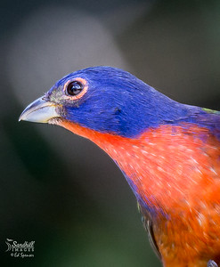 Backyard painted bunting male