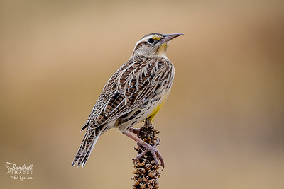 Western meadowlark, Denver