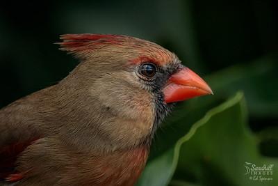 Cardinal, female