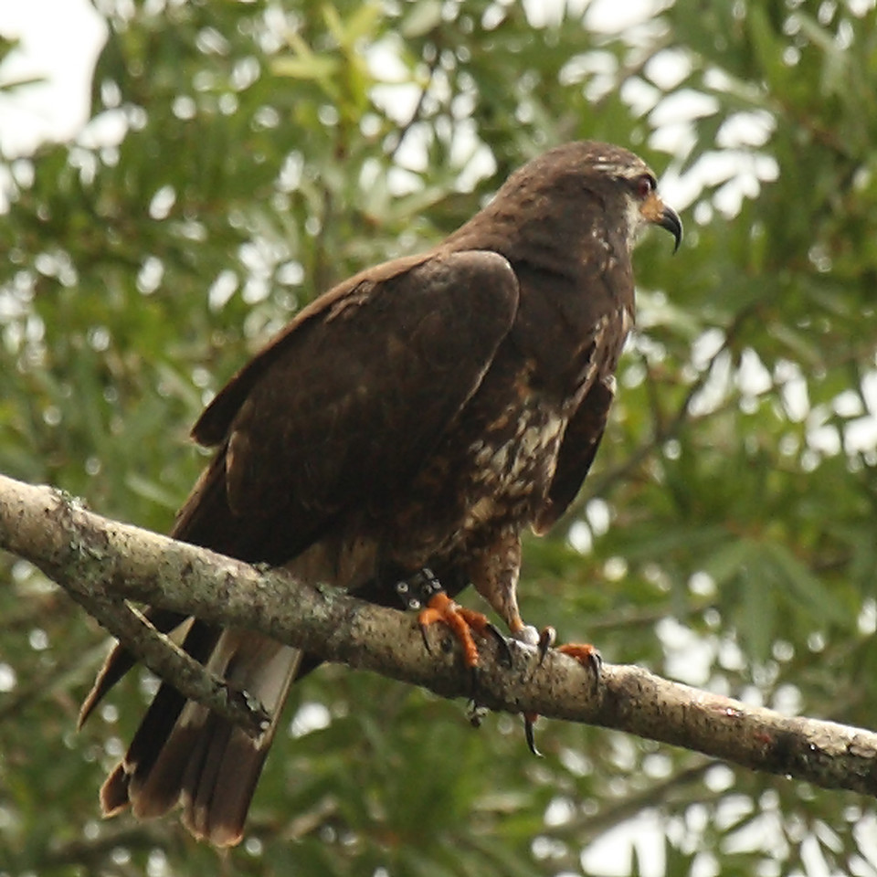 5817 Snail Kite sitting on a branch and showing a band on each leg. Notice his hooked beak!