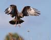 """Kite returning to nest in Bullrush  <a href=""""http://www.wklein.smugmug.com"""">http://www.wklein.smugmug.com</a>"""