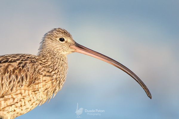 Eastern Curlew (CE)