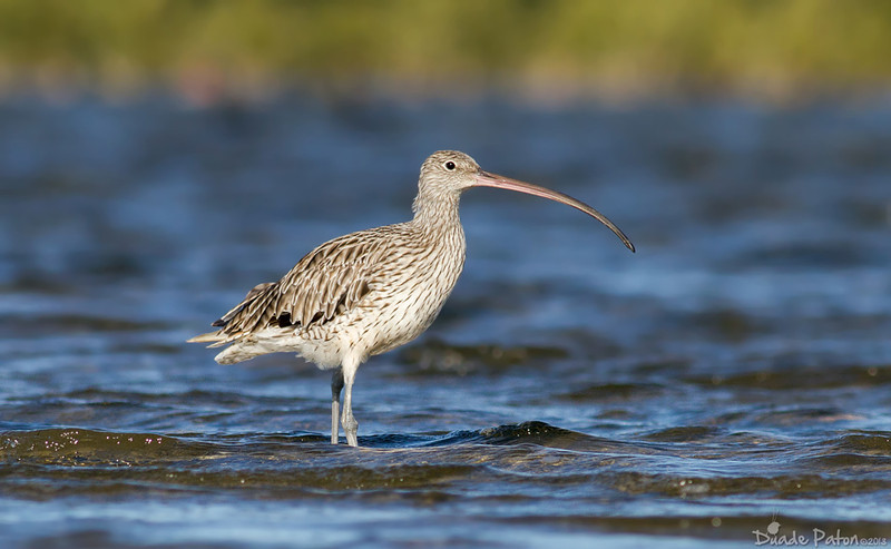 Eastern Curlew