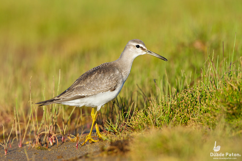 Grey-tailed Tattler