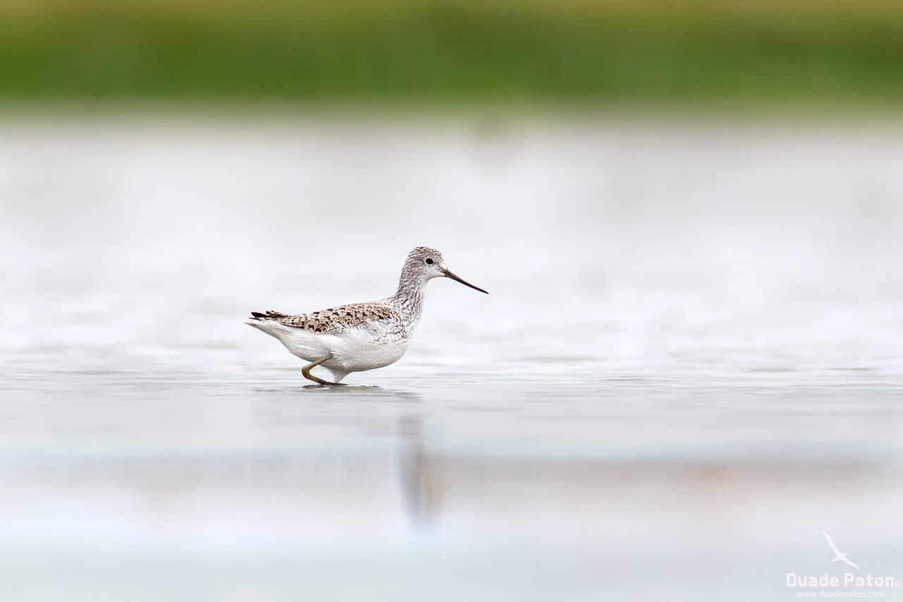 Marsh Sandpiper -Breeding