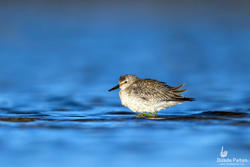 Red Knot - Juvenile