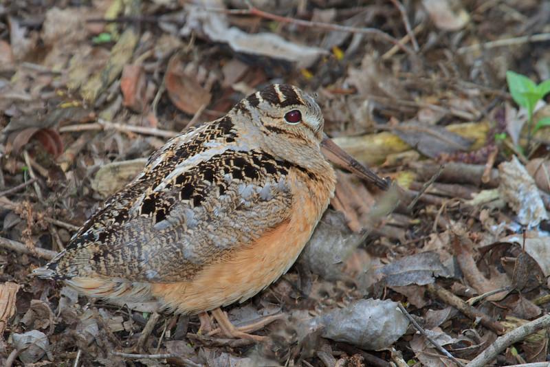 American Woodcock (b2991)