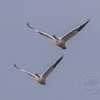Snow Geese Double V