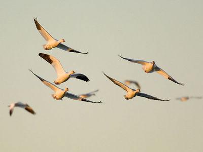 Snow Geese - November, 2005 - Sacramento National Wildlife Refuge