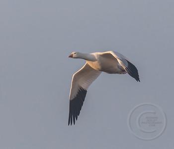 Snow Goose Flight For Breakfast