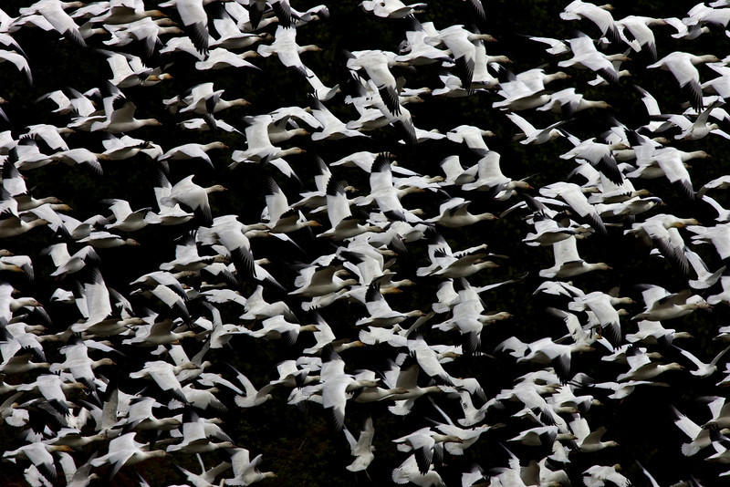 Every fall, thousands of snow geese stop by locally on their way south.  This photograph was made as hundreds of them were coming in to land.