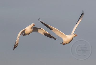 Snow Geese Two for Breakfast