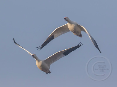 Snow Geese Pair In Sync