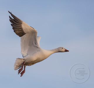 Snow Goose Ready to Land