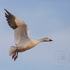 Snow Goose Ready to Land